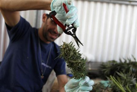 A worker trims a cannabis plant at a plantation near the northern Israeli city of Safed