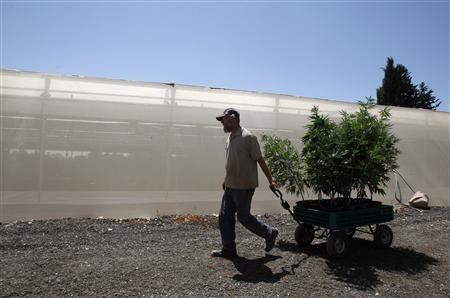 A worker pulls a cart with cannabis plants at a plantation near the northern Israeli city of Safed