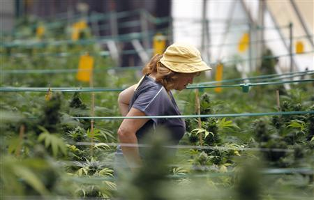 A worker walks past cannabis plants at a plantation near the northern Israeli city of Safed