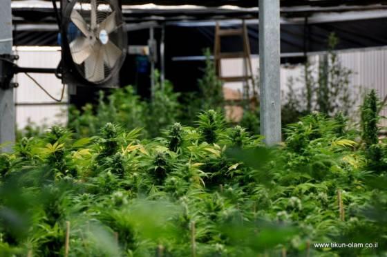 Tikkun-Olam highless marijuana