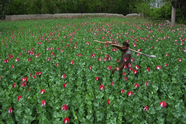 An Afghan farmer in his poppy field this month in the Khogyani district of eastern Nangarhar province. - Noorullah Shirzada/Agence France-Presse - Getty Images