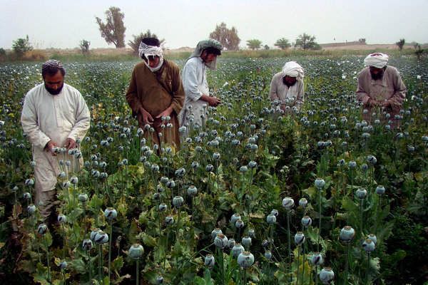 Farmers harvested a poppy field in the village of Bawri. Afghanistan's opium cultivation increased for the third year in a row, according to a United Nations report. - Abdul Khaleq/Associated Press