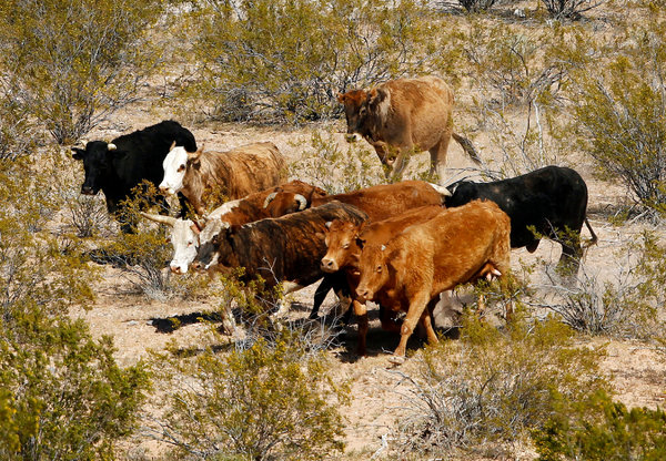 Bundy Free Range Cattle