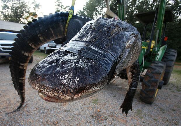 Gator13