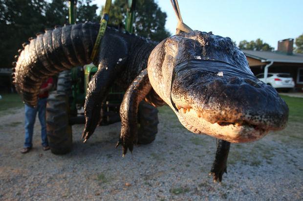 Gator26
