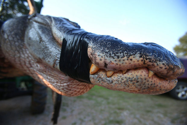 A monster alligator weighing 1011.5 pounds measuring 15 feet long is pictured in Thomaston, Alabama on Saturday, August 16, 2014. The gator was caught near Camden, Alabama, by Mandy Stokes along with her husband John Stokes, her brother-in-law Kevin Jenkins and his two teenage children, Savannah Jenkins, 16, and Parker Jenkins, 14, all of Thomaston, Alabama. (Photo by Sharon Steinmann/ssteinmann@al.com)